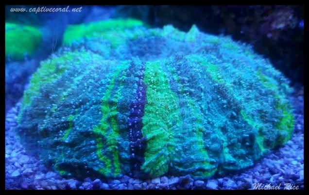 acanthophyllia2015-12-21 17.36.47