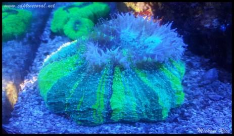 acanthophyllia2015-12-22 08.59.22