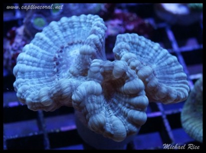 candy_cane_coral_DSC0500