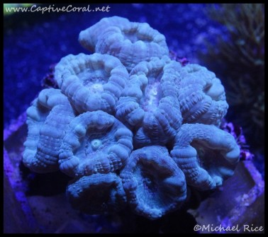 candy_cane_coral_dsc2191