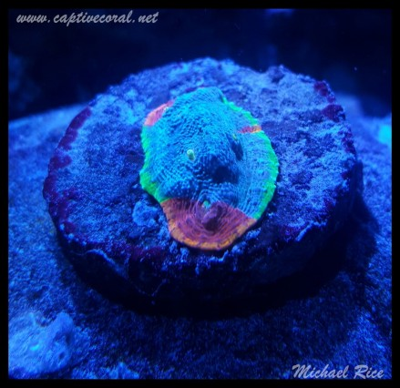 chalice_coral2015-12-20 04.24.11