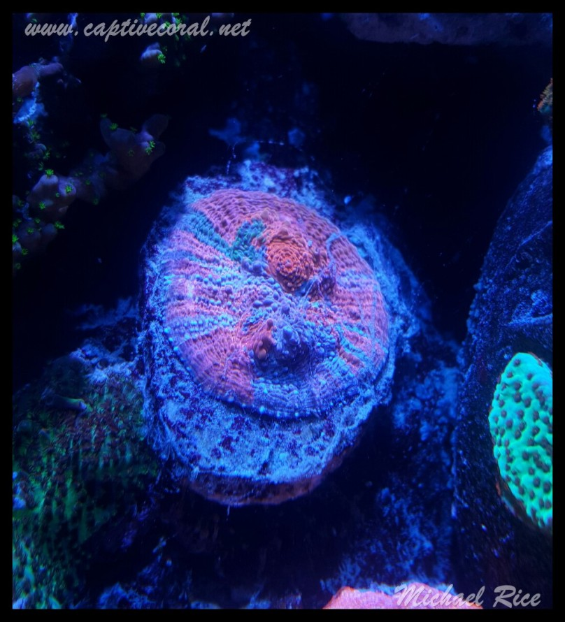 chalice_coral2015-12-20 04.25.23