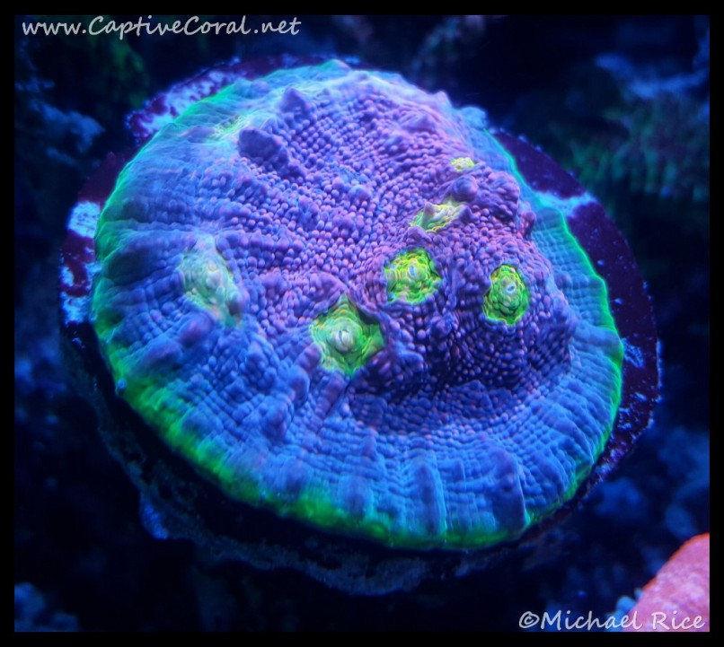 chalice_coral2015-12-20-04-26-24