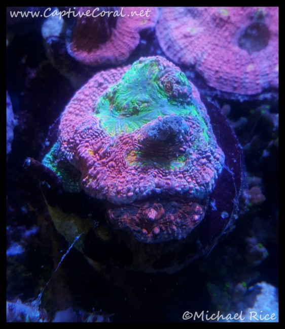 chalice_coral2015-12-21-17-36-27