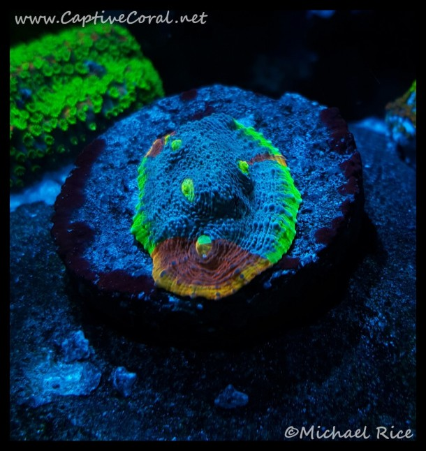 chalice_coral2016-01-04-05-05-53