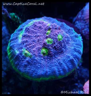 chalice_coral2016-01-15-04-21-54