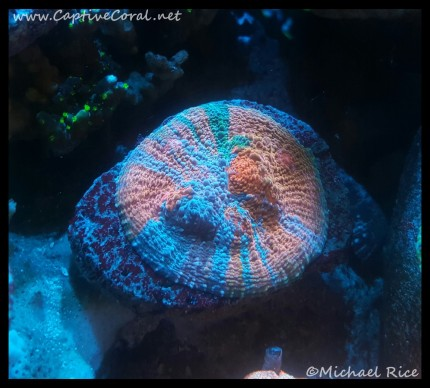 chalice_coral2016-02-04-14-39-16