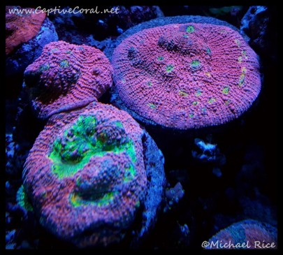 chalice_coral2016-02-27-14-58-15