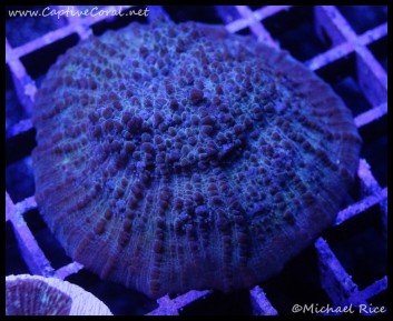chalice_coral2016-06-23-06-24-31