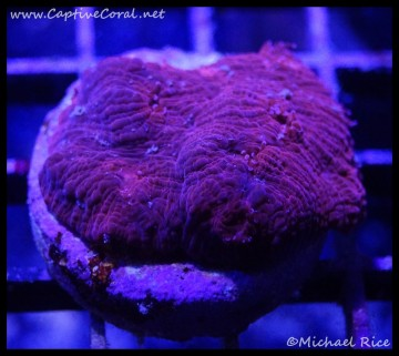 chalice_coral2016-06-23-06-25-56