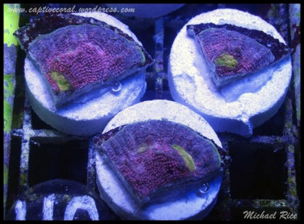 chalice_coral_2015-07-16 08.45.52-1