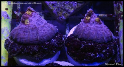 chalice_coral_2015-07-16 08.46.06