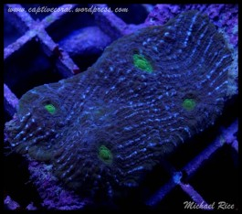 chalice_coral__DSC9934