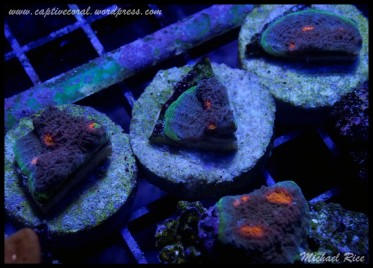 chalice_coral__DSC9937