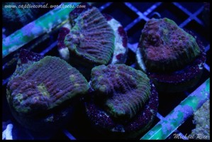 chalice_coral__DSC9949