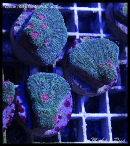 chalice_coral_DSC0488