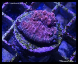 chalice_coral_DSC0492