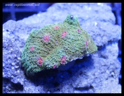 chalice_coral_DSC0508