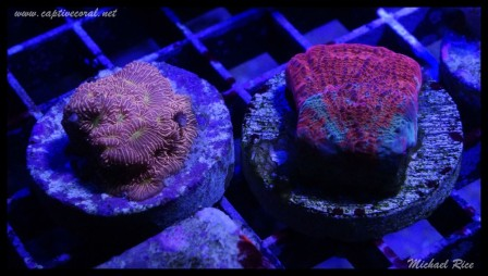chalice_coral_DSC0845