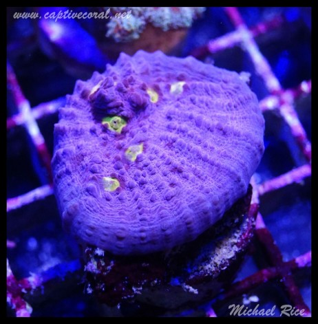 chalice_coral_DSC1008