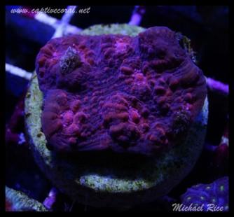chalice_coral_DSC1113