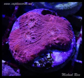 chalice_coral_DSC1114