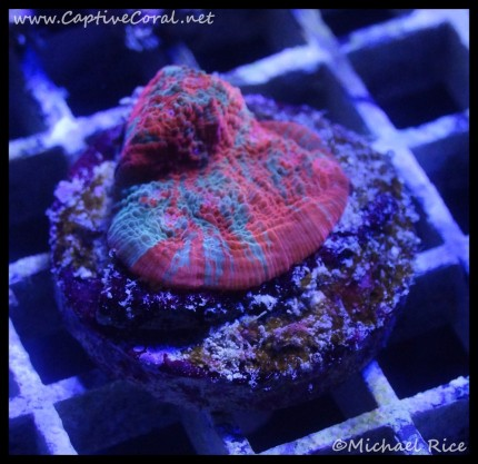 chalice_coral_dsc2204