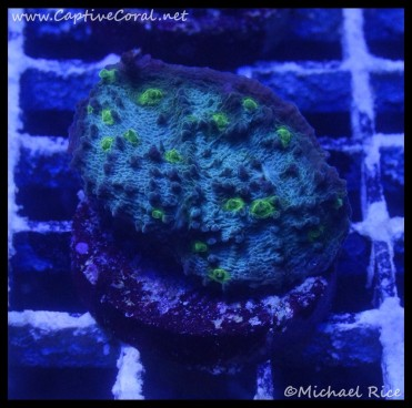 chalice_coral_dsc2482