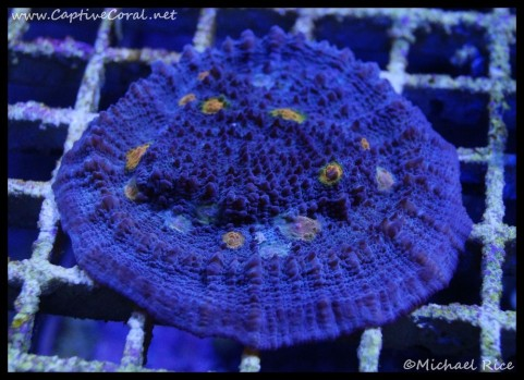 chalice_coral_dsc2817