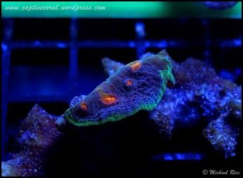 chalice_coral_DSC8995