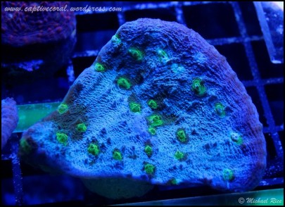 chalice_coral_DSC8997