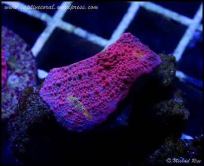 chalice_coral_DSC9019