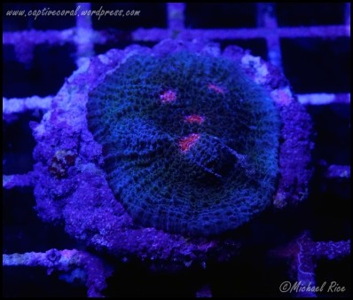 chalice_coral_DSC9371