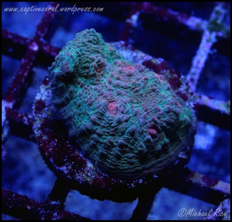 chalice_coral_DSC9385