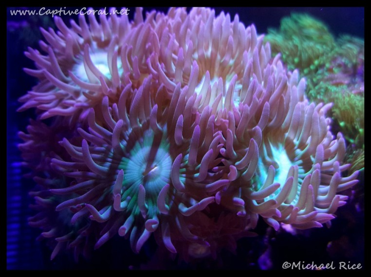 duncan_coral2016-02-18-03-27-59
