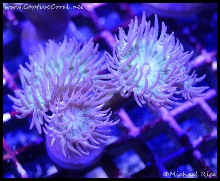 duncan_coral2016-06-23-06-26-07-1