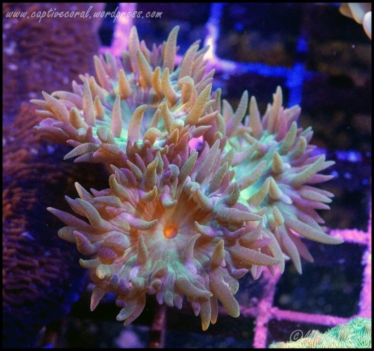 duncan_coral_DSC9331