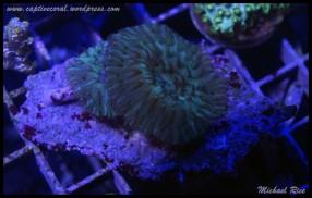 fungia_plate_coral2015-07-11 23.30.37-1