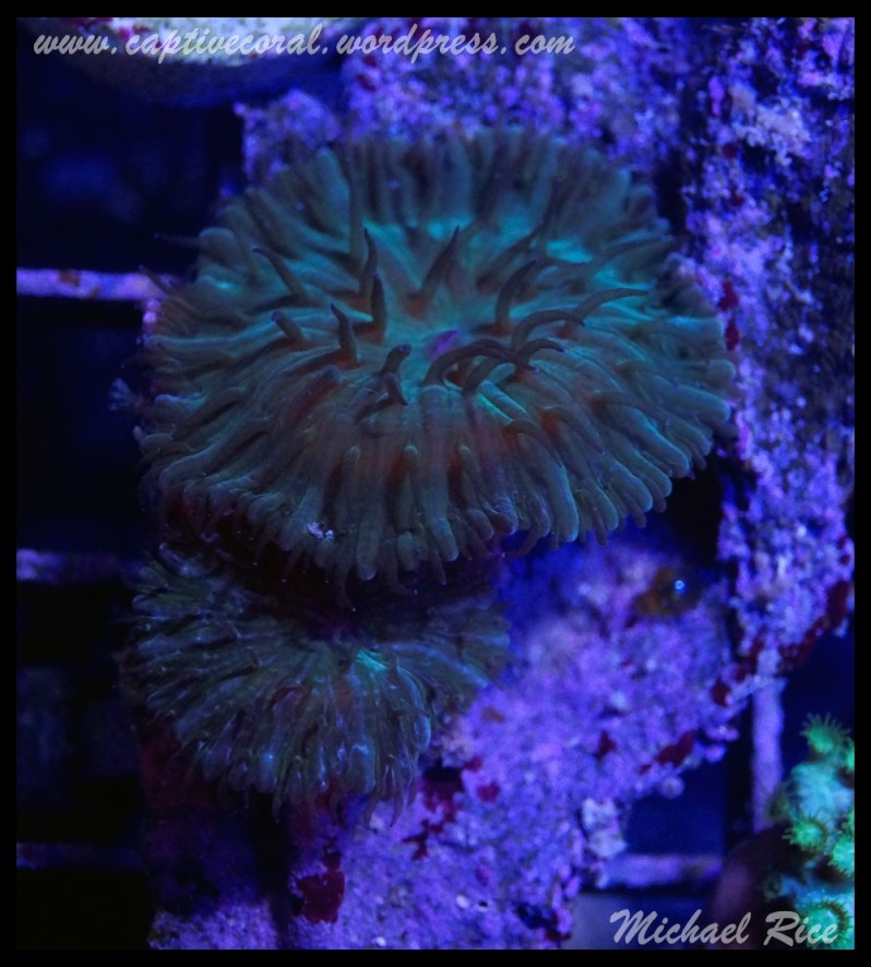 fungia_plate_coral_DSC9980