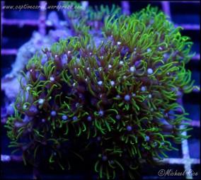 green_star_polyps_DSC9026