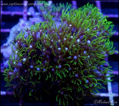 green_star_polyps_DSC9026