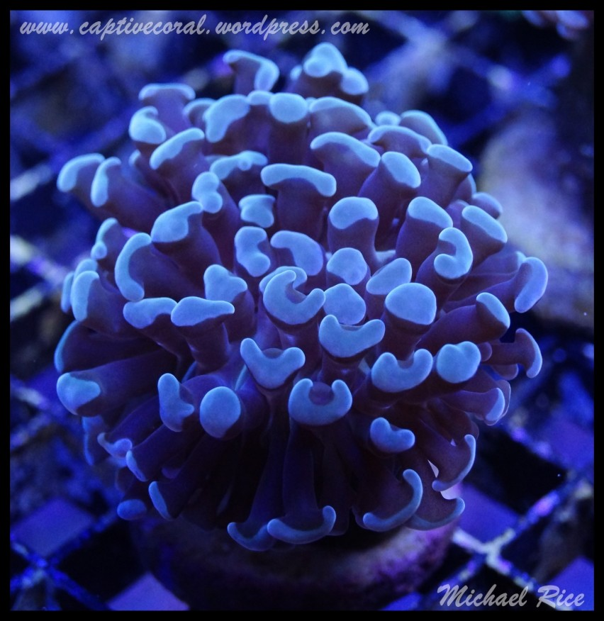 hammer_coral_DSC0312