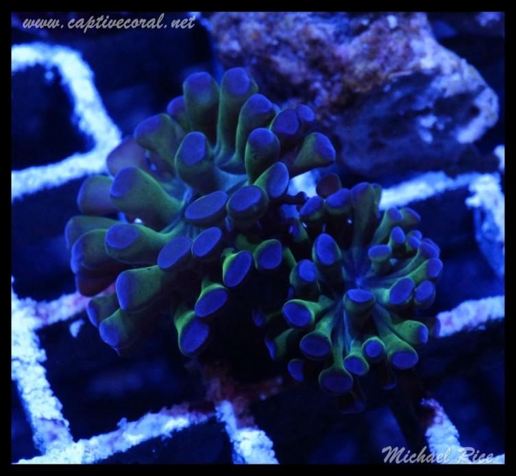 hammer_coral_DSC0978