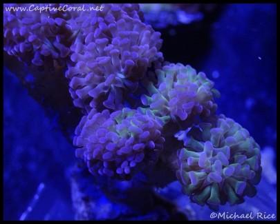 hammer_coral_dsc2193
