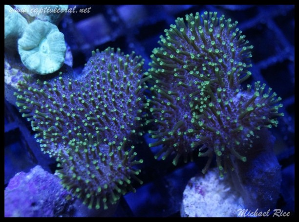 leather_coral_DSC0510