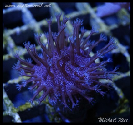 leather_coral_DSC1172