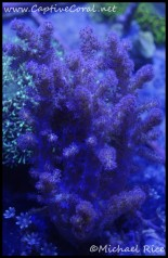 leather_coral_dsc2659