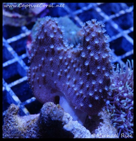 leather_coral_dsc2801