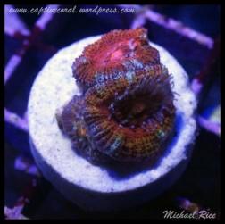 micromussa2015-07-11 23.31.45