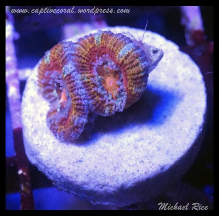 micromussa2015-07-11 23.31.52